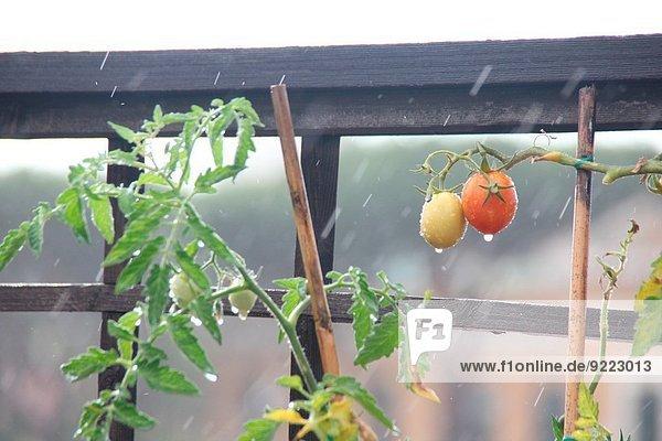 fallen fallend fällt Rom Hauptstadt Pflanze Regen Garten Tomate schwer Italien