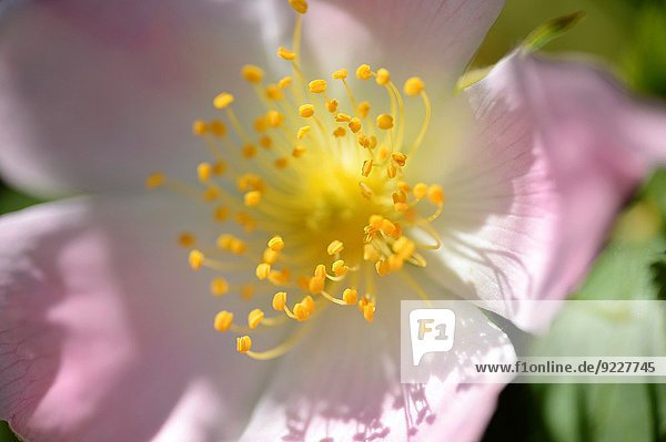 Close-up of a dog rose (Rosa canina) blossom in spring.