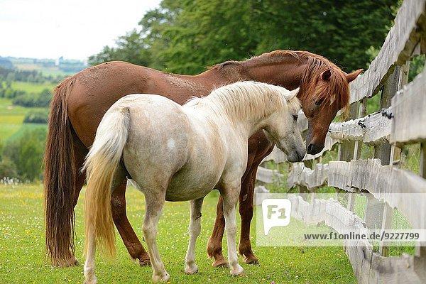 Close-up Wiese Pferd Equus caballus