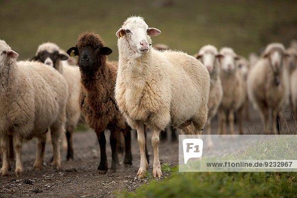 Nationalpark Schaf Ovis aries Wiese Herde Herdentier Vogelschwarm Vogelschar Andalusien Grazalema Rosario Spanien