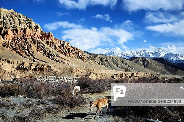 Red and ochre rock formations and horses in a valley near Dhakmar village. Nepal  Gandaki  Upper Mustang (near the border with Tibet).