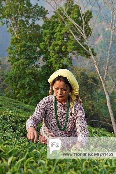Teeblatt Wohngebäude arbeiten ernten Plantage Tee
