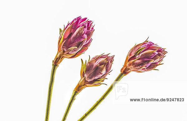 Drei Blüten vom Rhododendron