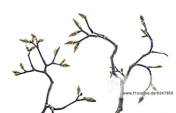 Zwei Zweige mit Knospen vom Ahornbaum