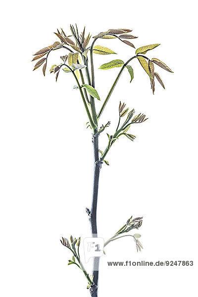 Zweig vom Walnussbaum