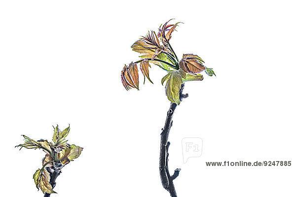 Ahornblatt 2 Zweig