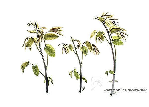Zweige vom Walnussbaum