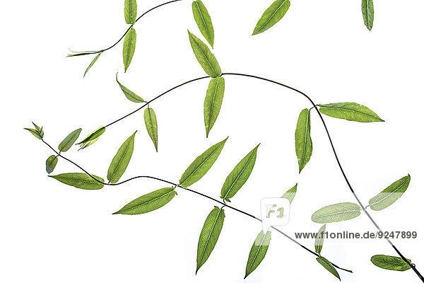Vetch leaves