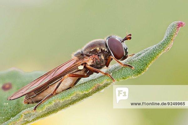Pollen Blütenstaub Lebensmittel Blume In der Luft schwebend füttern Größe Tier Nektarine Larve Nektar breit