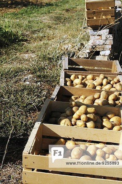 Frisch geerntete Kartoffeln in Steigen im Gemüsegarten