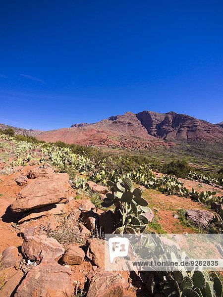 Marokko  Marrakesch-Tensift-El Haouz  Atlasgebirge  Ourika-Tal  Dorf Anammer  Kaktusfeigen  Opuntia ficus-indica
