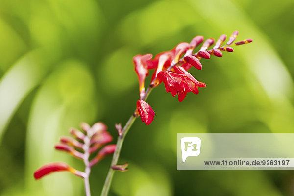 Blüten der roten Freesien  Freesien