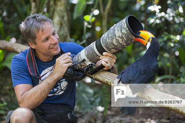 Brasilien  Mato Grosso  Mato Grosso do Sul  Tukan  Ramphastos toco  Knabbern vor der Kamera eines Fotografen
