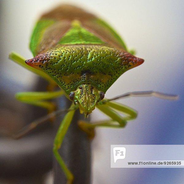 Hemipterans  Hemiptera  Nahaufnahme Hemipterans, Hemiptera, Nahaufnahme