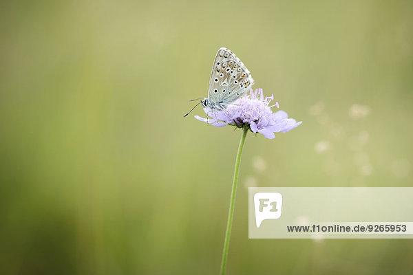 Chalkhill Blue  Polyommatus coridon  on blossom