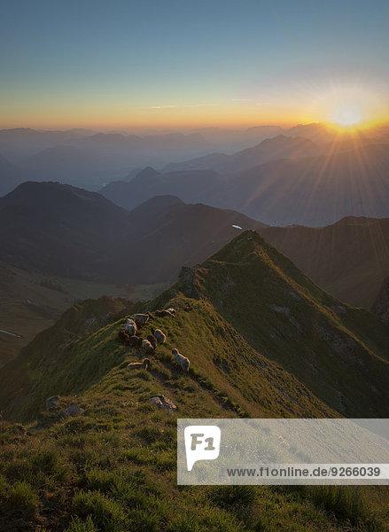 Österreich  Tirol  Bezirk Schwaz  Blick vom Kellerjoch bei Sonnenaufgang gegen die Morgensonne  Schafe