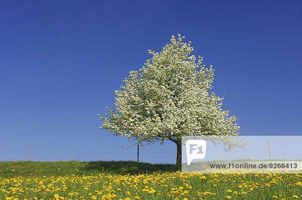 Birnbaum auf einer Wiese mit Löwenzahn vor blauem Himmel