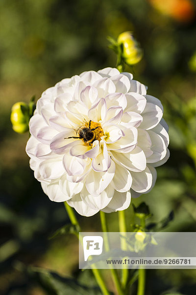 Hummel auf weißer Dahlienblüte  Dahlia  bei Sonnenlicht