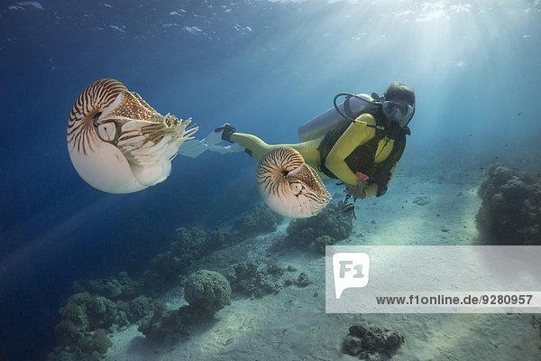 Taucherin beobachtet Perlboote  auch Palau-Nautilus (Nautilus belauensis)  Palau
