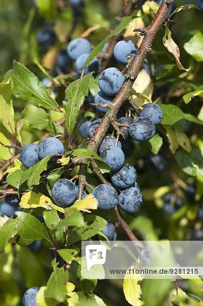 Reife Schlehen (Prunus spinosa) am Zweig  Bayern  Deutschland