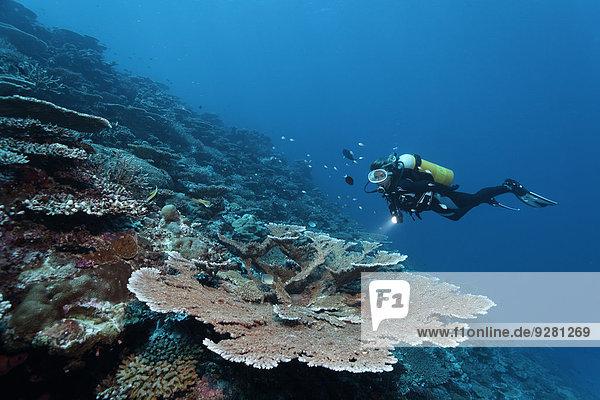 Divers looking at table coral (Acropora hyacinthus) at drop-off  Indian Ocean  Bolifushi  South Malé Atoll  Maldives