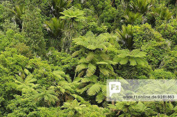Regenwaldvegetation mit Baumfarnen (Cyatheales)  Nordinsel  Neuseeland