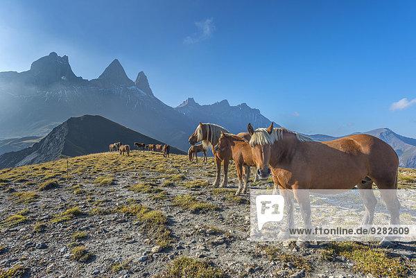 Pferde vor dem Aiguilles d'Arves  Ecrins  Dauphiné-Alpen  Département Savoie  Frankreich
