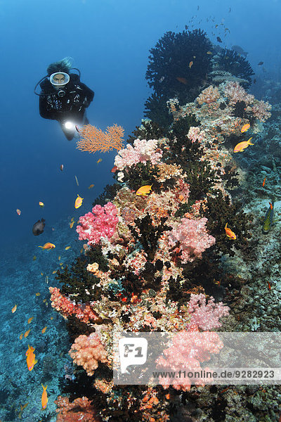 Divers looking at coral reef with Dendronephthya klunzingeri soft coral (Dendronephthya klunzingeri) on coral reef  Embudu channel  Indian Ocean  Tilla  South Male Atoll  Maldives