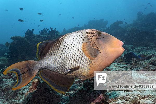 Gelbsaum-Drückerfisch (Pseudobalistes flavimarginatus) Korallenriff  Indischer Ozean  Embudu  Süd-Male-Atoll  Malediven