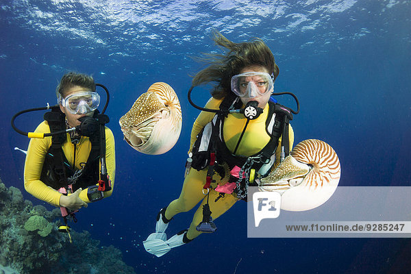 Scuba divers watching Palau Nautiluses (Nautilus belauensis)  Palau