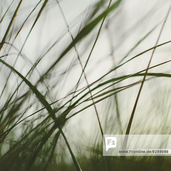 Seegräser auf den Sanddünen der Dünen von Long Beach Peninsula. Nahaufnahme.