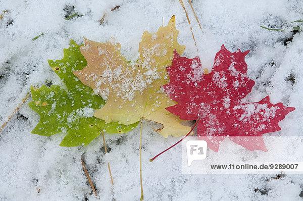 Kräftig gefärbte Ahornblätter liegen auf Schnee.