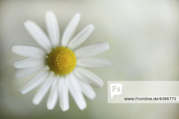 Gänseblümchen Bellis perennis