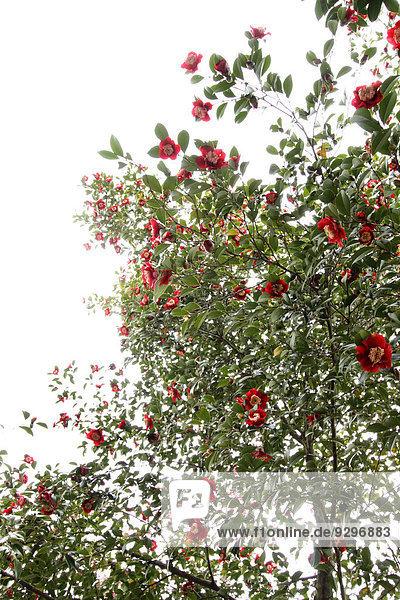 Kamelie Camellia japonica