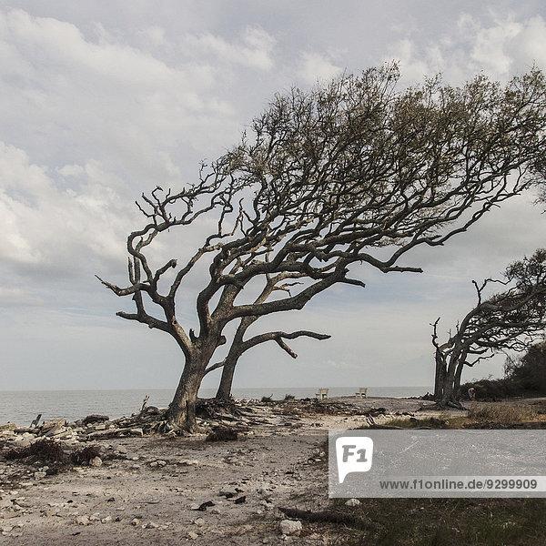 Ein vom Wind geformter Baum auf Jekyll Island  Georgia  USA