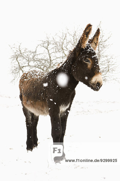 Donkey standing in snow