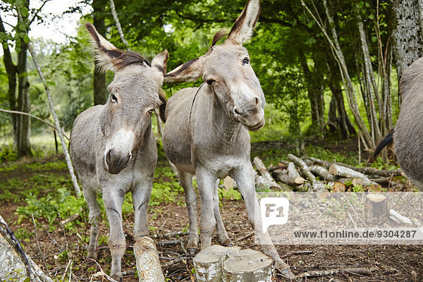 Two donkeys in forest  Le Saucet  Bretonvillers  Franche-Comte  France  Europe