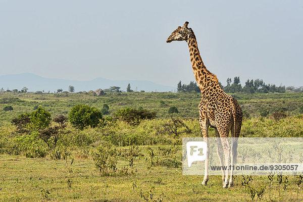 Giraffe (Giraffa camelopardalis)  Arusha  Tansania Giraffe (Giraffa camelopardalis), Arusha, Tansania