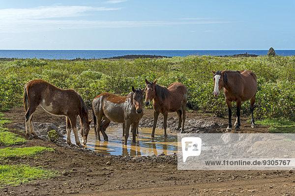 Osterinsel Rapa Nui Küste Pazifischer Ozean Pazifik Stiller Ozean Großer Ozean Wildtier Chile