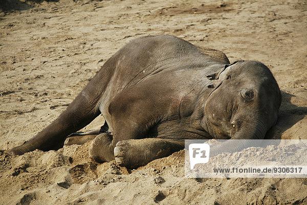 Asiatischer Elefant (Elephas maximus)  Jungtier  ruhend  captive