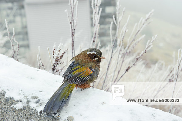 Japanese White-eye (Zosterops japonicus) in snow,  Taiwan