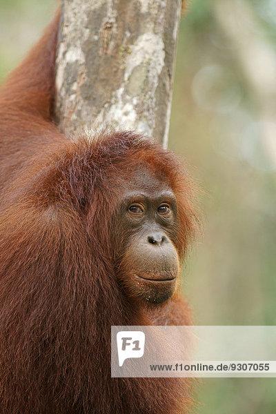 Borneo-Orang-Utan (Pongo pygmaeus)  Nationalpark Tanjung Puting  Zentralkalimantan  Borneo  Indonesien Borneo-Orang-Utan (Pongo pygmaeus), Nationalpark Tanjung Puting, Zentralkalimantan, Borneo, Indonesien