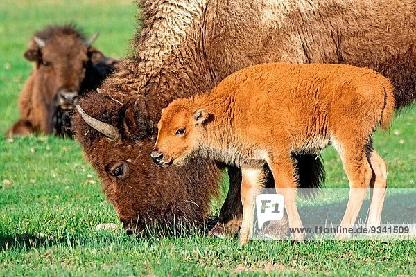Hausrind Hausrinder Kuh Nationalpark Fluss amerikanisch vorwärts Yellowstone Nationalpark Bison Kalb Madison