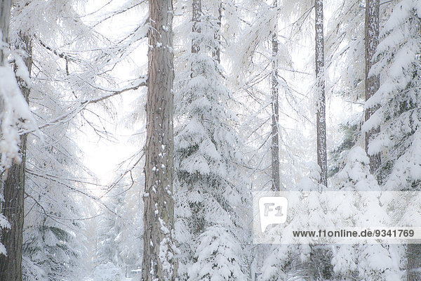Larches in winter,  Mieminger Plateau,  Tyrol,  Austria,  Europe