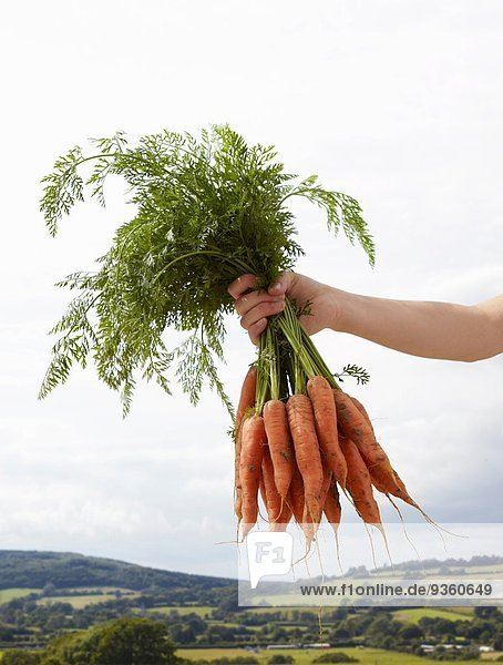 Hand holding up bunch of carrots