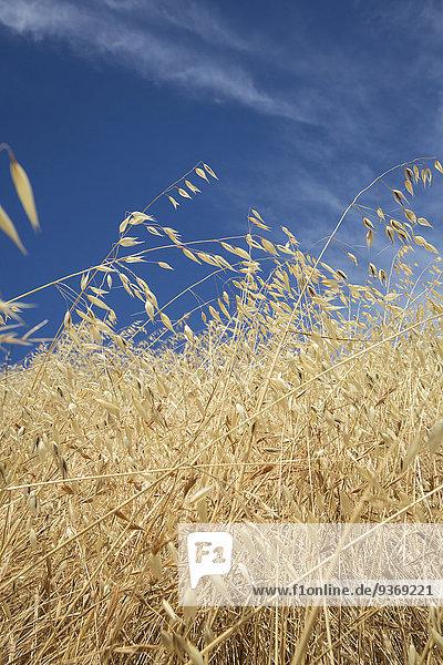 Close up of tall grass under blue sky