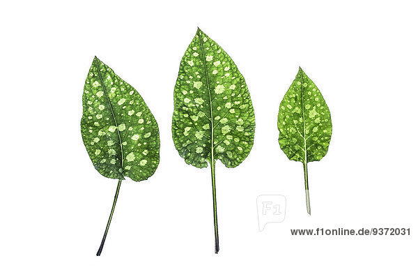 Three leaves of lungwort
