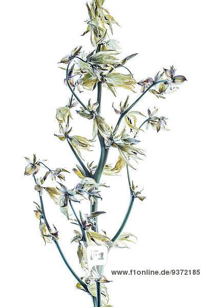 Trockener Zweig einer Yucca