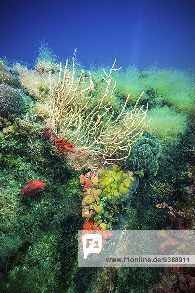 Coral Reef  Adriatic Sea  Dalmatia  Croatia