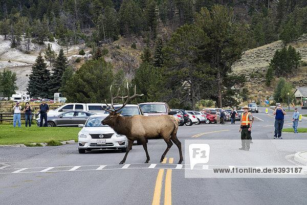 Vereinigte Staaten von Amerika USA Elch Alces alces Nationalpark Amerika Tier Fernverkehrsstraße Tourismus Yellowstone Nationalpark Wyoming